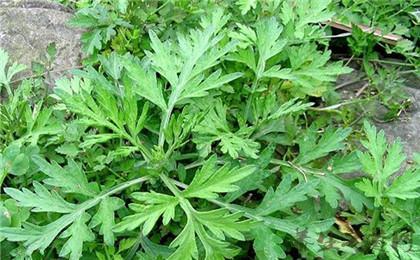 艾葉草本植物