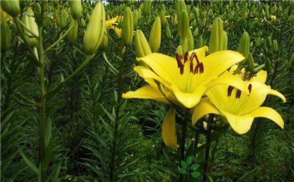 黃色的百合花