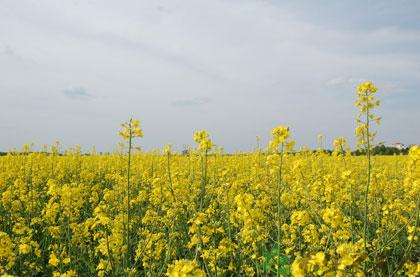 油菜花粉的功效