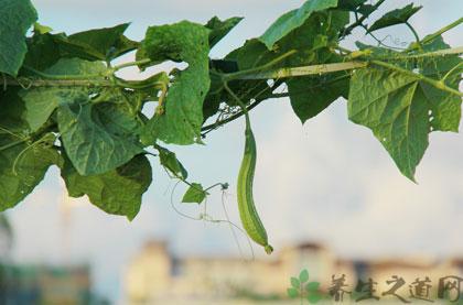絲瓜的功效有哪些