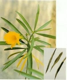 黃花夾竹桃葉